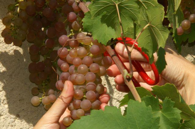 Cette variété est assez résistante au mildiou et à l'oïdium, ce qui n'exempt d'avoir à intervenir lors des années favorables aux maladies.