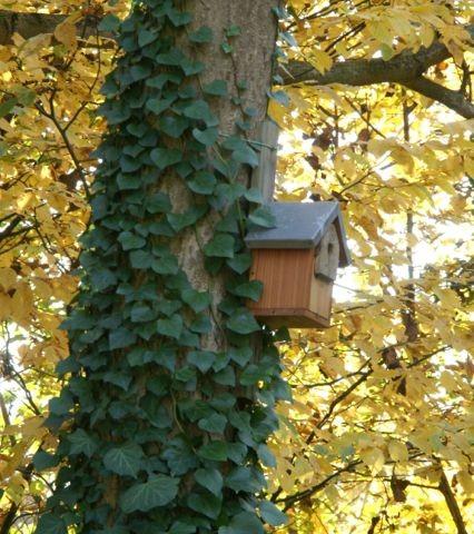 Les mésanges apprécient les nichoirs et le lierre qui pousse presque librement sur les arbres.