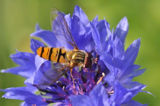 Les auxiliaires comme ce syrphe sur une fleur de bleuet restent au jardin car nous leur offrons tout ce dont ils ont besoin tout au long de leur vie.