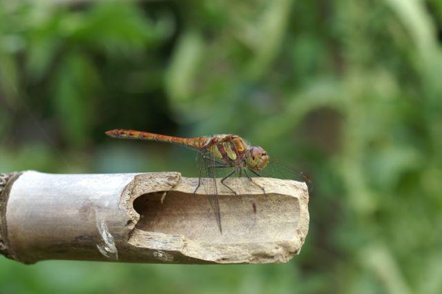 Les libellules chassent de nombreux insectes du jardin