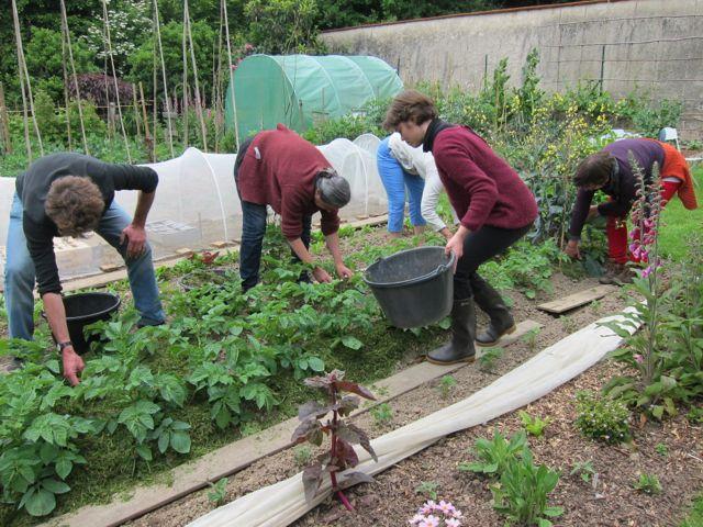le jardin bio en fin de printemps: buttage des pommes de terre / paillage (tontes de pelouse)
