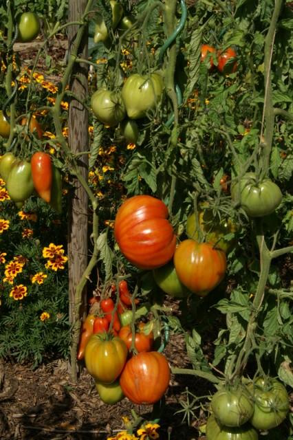 Tomates Coeur de boeuf et Cornue des Andes
